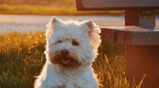 West Highland Terrier Says Hello
